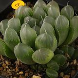 자옥로(10-6)|Haworthia cooperi var obtusa (purple)