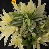 경화금(10-22)|Haworthia cymbiformis f. variegata