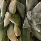 화이트그리니(10-36)|Dudleya White gnoma(White greenii / White sprite)