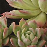 블렛블루아나군생(10-44)|Echeveria bradburiana