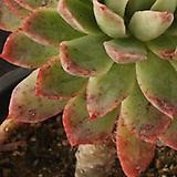블렛블루아나군생(10-48)|Echeveria bradburiana