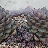 아메트롬자연군생,2017.10/28|Graptoveria Ametum
