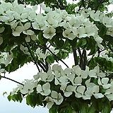 산딸나무 R3점 ~ R4점|
