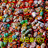 리톱스 믹스씨앗 천(1,000)립+사은품(HB-101 10ml, 황금사 500g )^0^/|Lithops