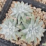 화이트그리니9두|Dudleya White gnoma(White greenii / White sprite)