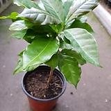 커피나무(외목대)|