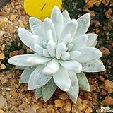 화이트그리니1|Dudleya White gnoma(White greenii / White sprite)