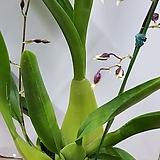 꽃大2大구경이큰샤리베이비|