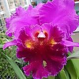 꽃송이가큰킹카틀레야(꽃大2大)|