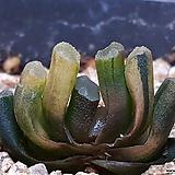 옥선금|Haworthia truncata variegated
