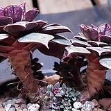 롱기시마한몸목대군생대품|Echeveria longissima