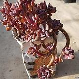 퍼플드림|Graptoveria cv Purple Dream