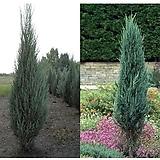 스카이로켓향나무 향나무 H1.5|