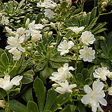 레위시아(흰꽃) 