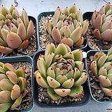 왁스 6개|Echeveria agavoides Wax