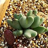 축전10|conophytum bilobum