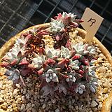 화이트그리니19(20두이상)|Dudleya White gnoma(White greenii / White sprite)