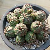 오베사군생11|Baseball Plant (Euphorbia obesa)