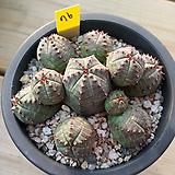 오베사군생76|Baseball Plant (Euphorbia obesa)