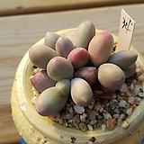 오비리데자연군생34|Pachyphytum Oviride