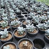 문스톤 자연군생|Pachyphytum Oviferum Moon Stone