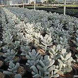 다육이 앙증맞은 방울복랑 다육식물|Cotyledon orbiculata cv