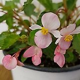 치바엔시스(목성Begonia)|Begonia