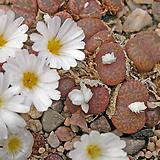 코노 Pellucidum W Tweefontein|