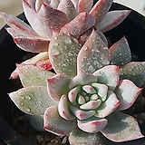파랑새172|Echeveria blue bird
