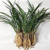 철골소심(7-8촉)/석곡/花盆/난/공기정화식물/분재/수반/꽃/옹기/나라아트|