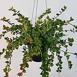 밀리언하트/밀런하트/디시디아/립살리스/공룡꽃식물원|