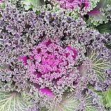 꽃배추 꽃양배추,화단꽃배추 가로약 20~23cm내외 