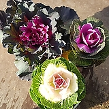 꽃배추(3종류 ) 소품 색상선택가능 
