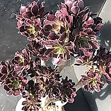黑法师群生|Aeonium arboreum var. atropurpureum