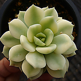 홍령복륜금|Graptoveria A GrimmOne