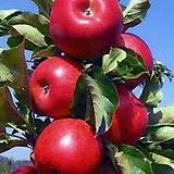 수형완성 메이폴 미니사과 성목 단품♥왜성사과♥수형 메이폴 애기사과 사과나무 사과 묘목|