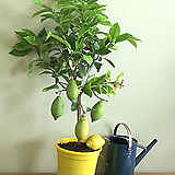 레몬트리 성목♥오리지널 레몬나무 단품♥레몬 시트러스|
