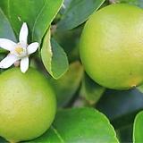 라임오렌지나무 단품 NO.2♥라임 오렌지|