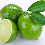 라임오렌지나무 단품 NO.1♥라임 오렌지 |
