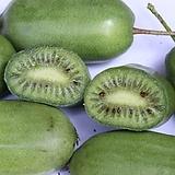 대왕키위베리♥점보사이즈♥키위 키위베리 대왕 점보 넝쿨 열매|