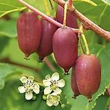 레드키위베리♥껍질도 레드~과일속도 레드~♥키위 키위베리 레드 넝쿨 열매|