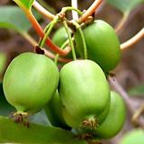 베이비키위베리♥혼자서도 열매 맺어요.♥키위 키위베리 베이비키위 넝쿨 열매|