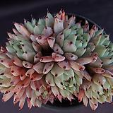 원종자라고사(목대적심)1|Echeveria mexensis Zaragosa
