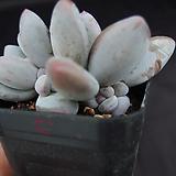 후레뉴(목대자구많음)5|Pachyphtum cv Frevel