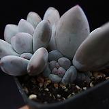 후레뉴(목대자구많음)19|Pachyphtum cv Frevel