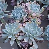 블루크라우드군생/랜덤발송 Echeveria blue cloud