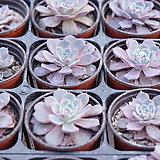 라우렌시스/랜덤발송 Echeveria Laulensis