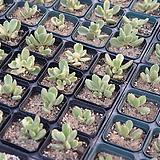 웅동자금/랜덤발송 Cotyledon tomentosa ssptomentosa