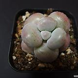 아메치스9|Graptopetalum amethystinum