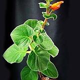 볼보사(신닝기아)进口种子15립|